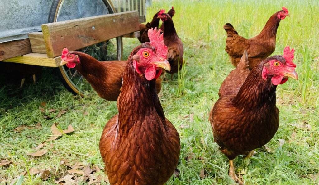 Huss chickens
